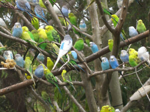 baby budgies on sale now at T T PETS