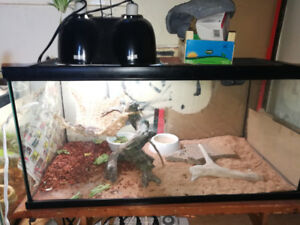 6 month old bearded dragon (male)