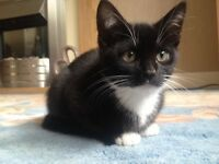 Little 15 week old kitty, male. Black and white