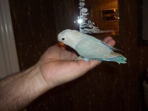 HAND FED AND TAME WHITE FACED LOVEBIRDS