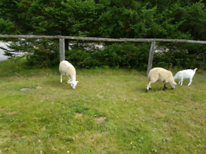 young ewes and young rams for sale