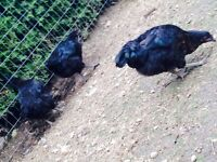 Black sex link pullets wanted