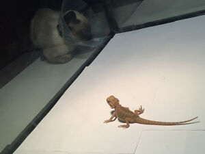 Baby Hypo Bearded Dragon with enclosure for sale or trade