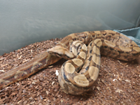 """Red tail"" BCI Boa"