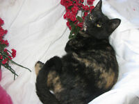 *** Gorgeous Spayed Tortishelle Kitten (Vaccinated and Dewormed)