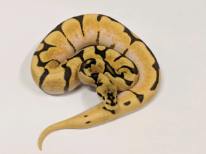 Ball Pythons - Hatchlings and Proven Breeders.