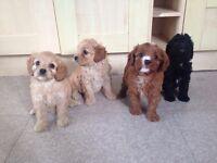 Cavapoo Puppies BVA PRA Clear