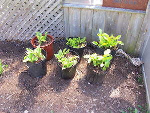 Hostas in 2 Gallon Pots $10 EACH