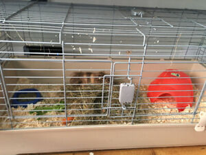 Male Guinea Pig with New Big Cage