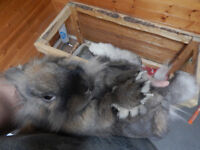 lion head bunny, 1 year old, friendly, likes to be held $25.00