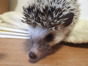 Hedgehog in need of a loving and caring home!!!