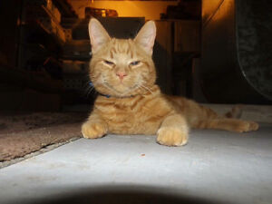 Looking for Orange Tabby in preswick area of Orleans