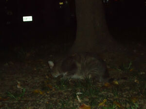 Grey Black Tabby Found Windsor Region Ontario image 2