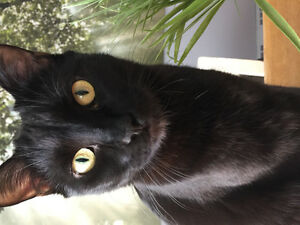 Pair of black kitties need good home together