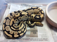 Proven Breeder Fire Male Ball Python