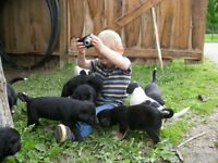 Assie/German Shepherd & Black Lab Pups