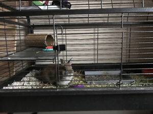 Dwarf Bunny and cage
