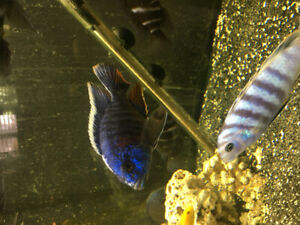 lots of cichlids 1-5 inches