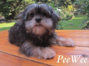 SHORKY PUPPIES  YORKY CROSS SHIH TZU PUPS,