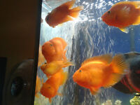 Blood Parrot fish for sale.