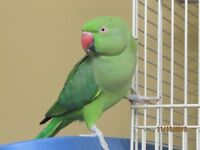 ♥☆.¸.•´¯`♥IRN'S AVAILABLE AT GAIL DAIGLE'S AVIARY♥☆.¸.•´¯`♥