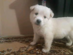 2 White Husky Pups Left .... READY TO GO NOW