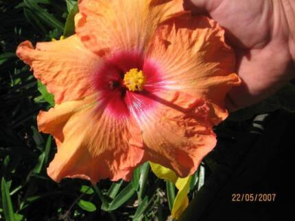 HIBISCUS - RED, PALE MAUVE, APRICOT AND DOUBLE PINK AVAILABLE
