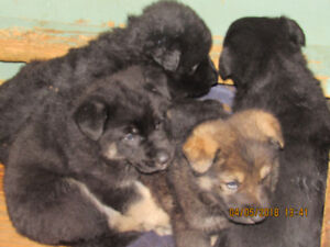 Non Registered German Shepherd puppies available; also adults.