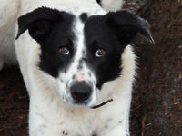 Border Collie/Kelpie male 8 mos Price negotiable