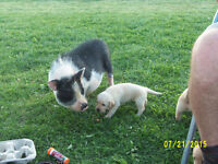 Looking for female pot belly pig/piglet