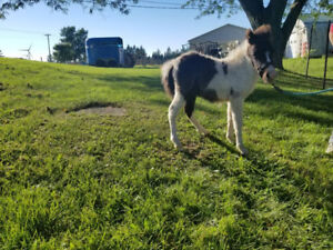AMHR Miniature Colts For Sale