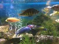 AFRICAN CICHLID PEACOCKS