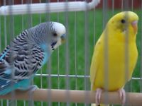 BEAUTIFUL & HEALTHY PAIR OF PARAKEET BUDGIES MALE & FEMALE BIRDS