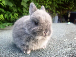 Looking for a female dwarf bunny spayed. free or less then 30