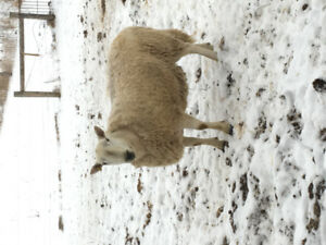 Pure bred 3 year old North Country Cheviot Ram.