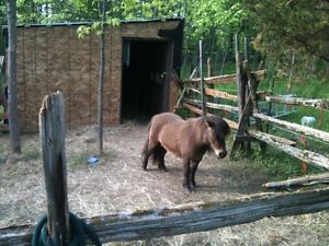 mnii horse for sale