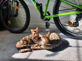 2 active female rosette bengal kittens