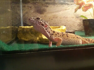 Leopard Gecko - free to good home