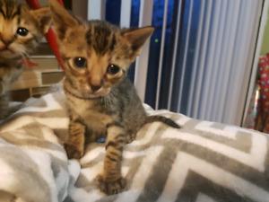 Savannah Kittens -Female Avilable