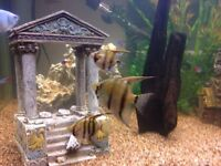 Angel fish - now sold !!!
