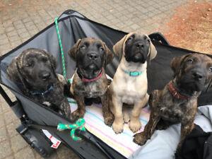 Mastiff's puppies (4 left Ready to go now)