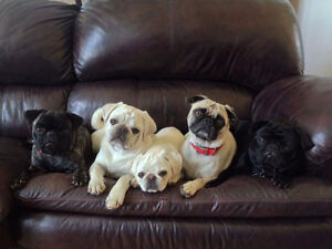 Pug Puppies - rare white color - ready mid July
