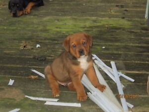 Rotti/Mastiff puppies 3 left