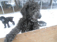 Adorable F1B  Male Standard Goldendoodle Pup - Ready to Go!