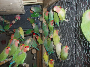 LOVEBIRDS FOR SALE BABIES (READY TO HAND FEE) London Ontario image 1