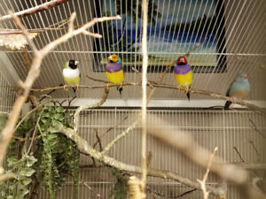 3 Gouldian and a Cordon Bleu finch, with Aviary and accessories