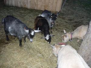 Chèvres miniatures Lac-Saint-Jean Saguenay-Lac-Saint-Jean image 5