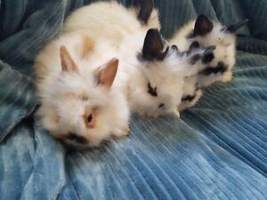 9 week old Dubel main Lion head bunny Rabbit's for sale,
