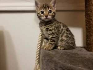 TICA Bengal kittens, 2 males ready, huge discount for both!!