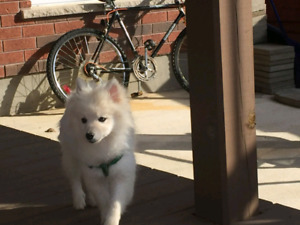 4 month old white Pomeranian puppy need a new home